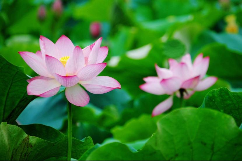 Lotus - the favorite summer flower of the Chinese people