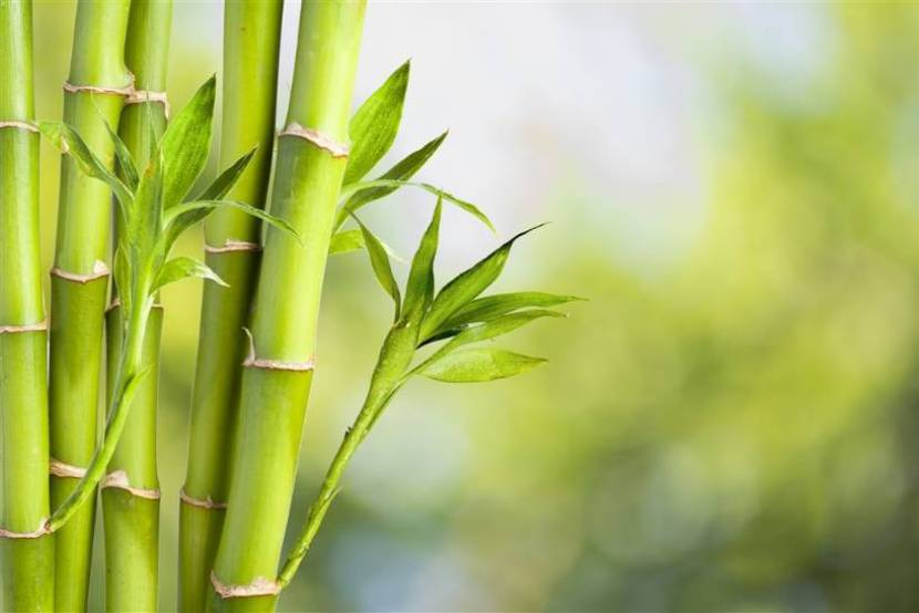 Bamboo - more than a plant to the Chinese